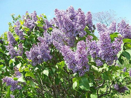 lilac festival in rochester ny