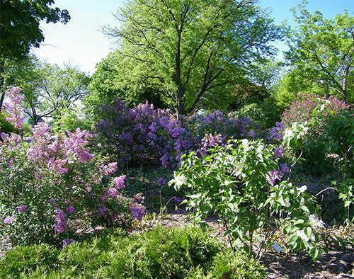 The Lilac Festival in Lombard, Illinois